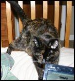 Working on laptop? No, pet kitteh!