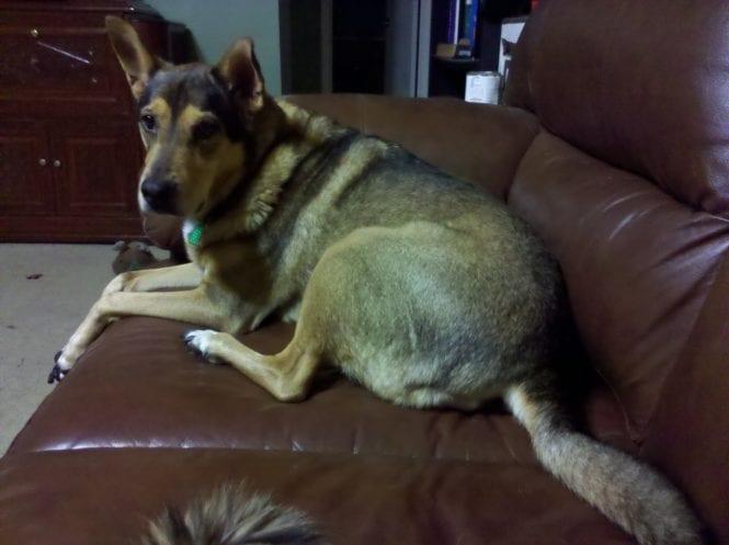 GingerDog, a North American Sofa Hounds
