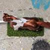 Foxfire - Custom Breyer Breyer Mini Whinnie Trotting Morgan Stallion - Martha Bechtel - Top